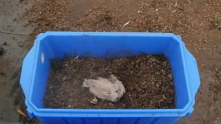 Composting Routine Mortalities from Backyard Poultry Flocks