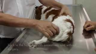 Final Video: A Cavalier King Charles Has Left Hip Dislocation