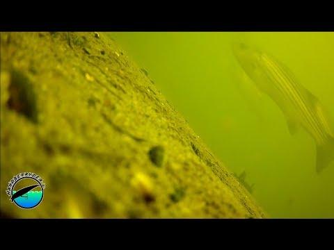 Fishing a Late Winter Housatonic River MEGA-SCHOOL (underwater footage)