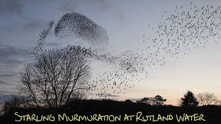 Starling Murmuration Rutland Water