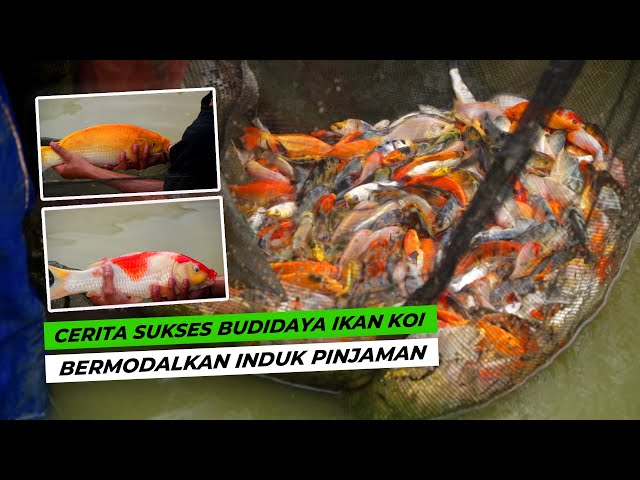 Habar Tani - Hasilkan Jutaan Rupiah dari Budidaya Ikan Koi