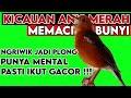 Anis Merah Lain Bakal Nyaut Dalam Waktu Beberapa Menit  Mp3 - Mp4 Download