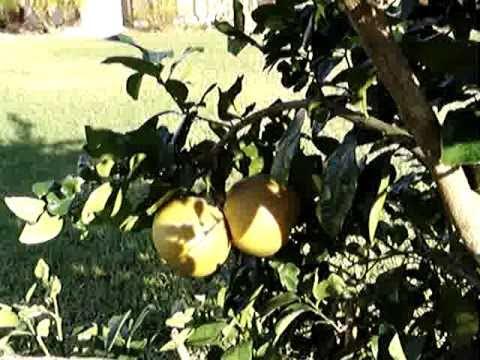 5 Fruit Citrus Tree