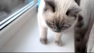 Британская кошка  (5D Mark 2)