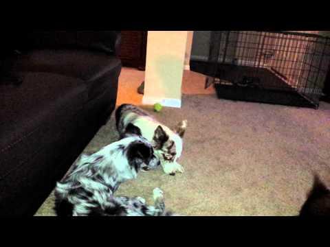 Border collie kiss attack