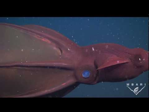 The Vampire Squid - an ancient species faces new dangers in the deep