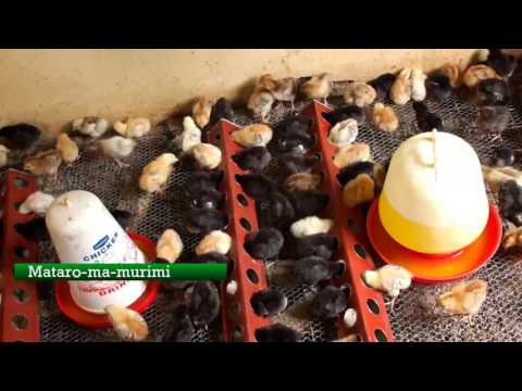 Mataro ma Murimi: Chick rearing Business in Runyenjes