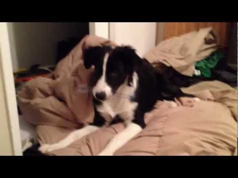 (funny) Border collie/Australian shepherd mix playing
