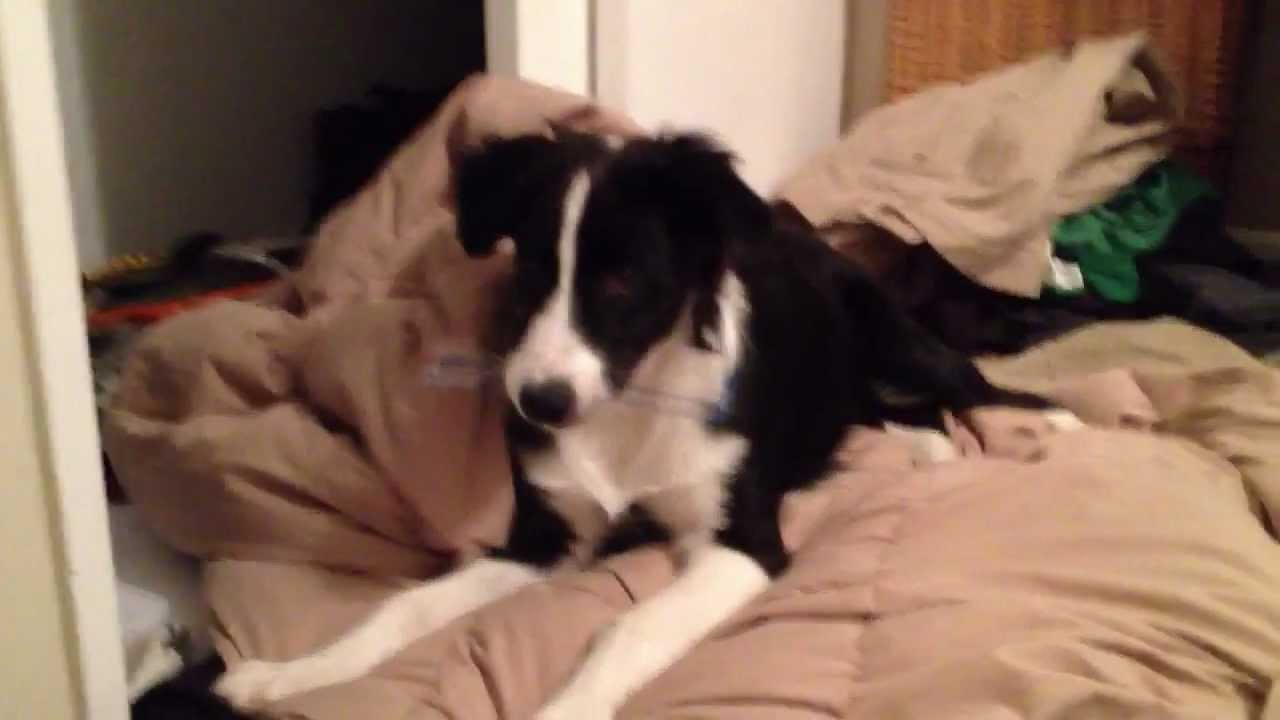 Funny border collie australian shepherd mix playing youtube