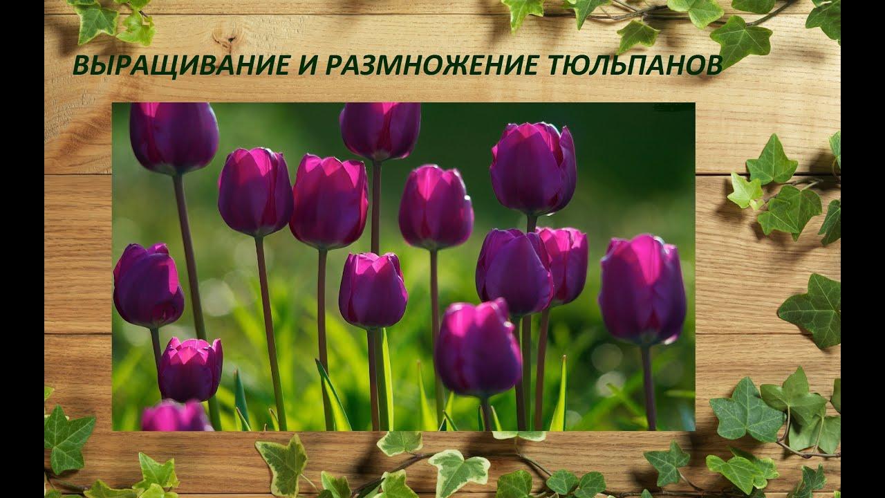 Мы предлагаем купить вам луковицы тюльпанов известных голландских. И оформить доставку почтой по украине: киев, одесса, николаев, херсон,