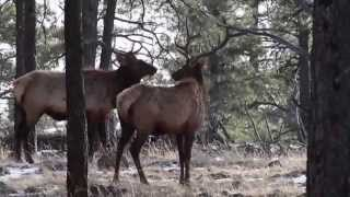 Member Video Contest Winner: High Point Outfitters, Arizona Elk