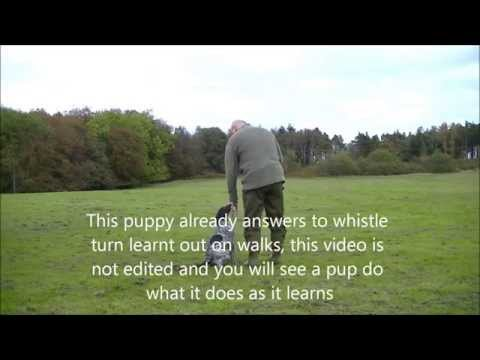 Gundog training how to teach  GSP pup to quarter a pattern (basics)