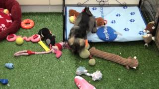Little Rascals Uk Breeders New Litter Of Stunning Miniature Schnauzers - Puppies For Sale 2015