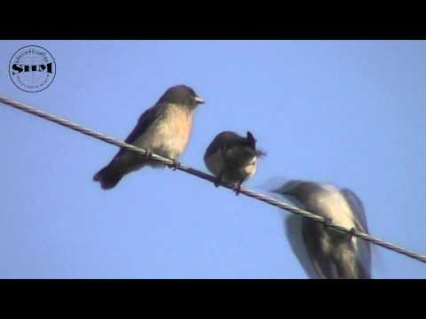 นกแอ่นพง (Ashy Woodswallow)