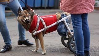 В Благовещенске собаку поставили на колеса
