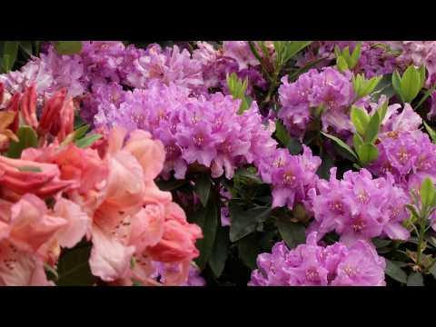 Rhododendron Guide - Sådan gør du - fra Plantorama