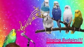 пение моих волнистых попугаев!  Дома всегда весна))) Singing Budgies