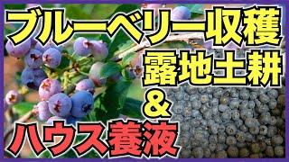 ブルーベリーの7月の生育と収穫!露地の土耕栽培とハウスの養液栽培