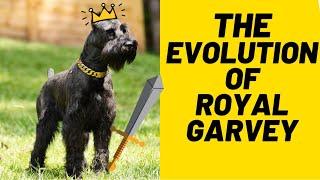 WATCH GARVEY THE GIANT SCHNAUZER GROW UP: HIS CRAZY BUTT