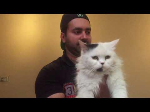 Turkish angora cat Vs Doll face vs Tiger face persian cats