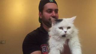Turkish angora cat Vs Doll face vs Tiger face persian cats