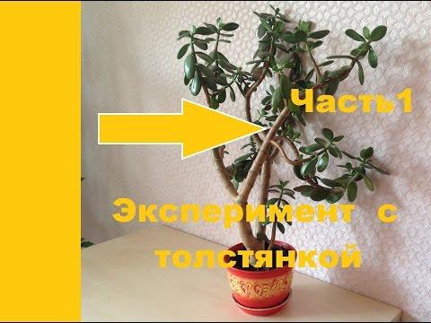 Денежное дерево (крассула). Тотальная обрезка. Часть1.