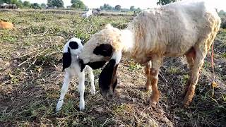 Sheep Love with his New Born Baby