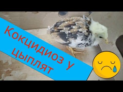 Кокцидиоз у цыплят.Как и чем лечить кокцидиоз у птицы.