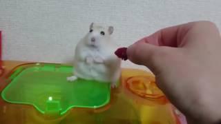 Sahibine Küsen Hamster