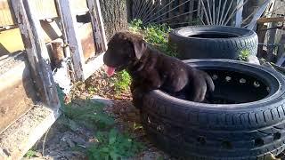 О породе, собака кане-корсо видео фильмы о породе щенки гиделио и гайхара