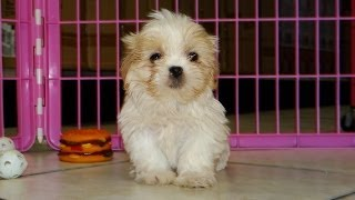 Shih Tzu, Puppies, For, Sale, In, Charlotte, North Carolina, Nc, Lexington, Clemmons, Fuquay Varina,