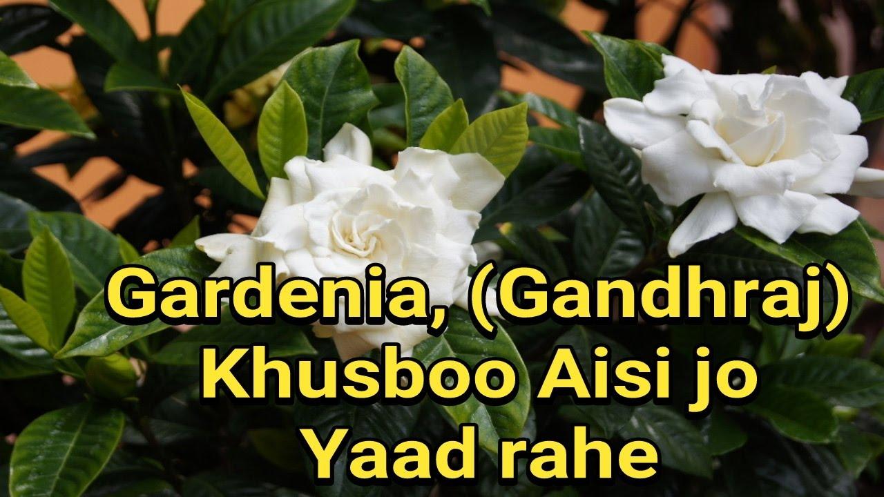 How To Grow Gardenia Jasminoides Gandhraj Plant In Pot