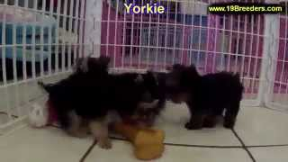 Yorkshire Terrier, Puppies, For, Sale, In, Gulfport, Mississippi, Ms, Greenville, Olive Branch,