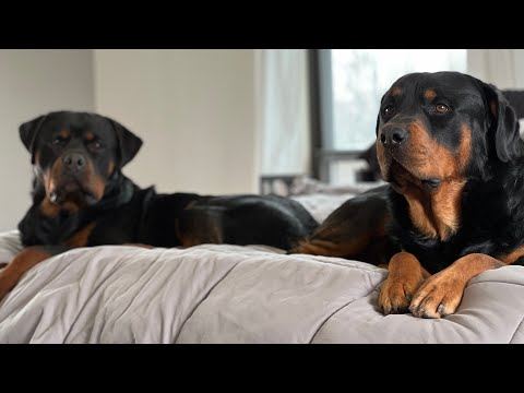 Taking my Rottweilers with me on a field trip and to see my best friends Shop House build!