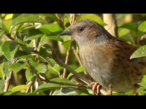 Dunnock or Hedge Sparrow - An often unnoticed and underrated bird