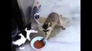 Копия видео Енот ворует еду у кошки