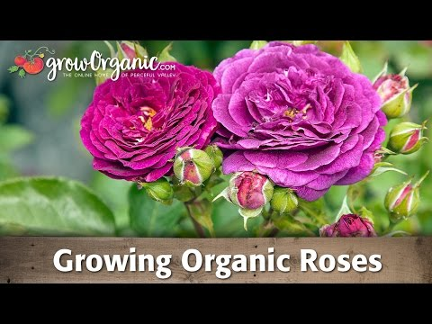 How to Grow Roses Organically