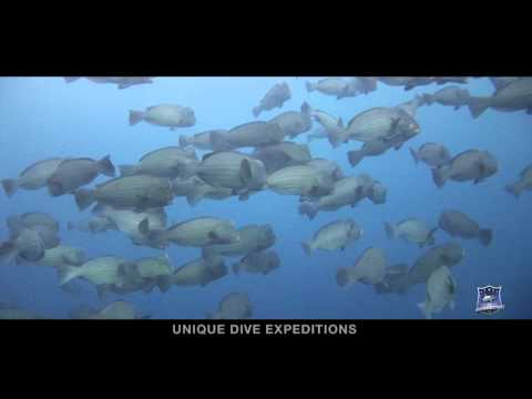 BUMPHEAD PARROTFISH SPAWNING Bolbometepon Muricatum