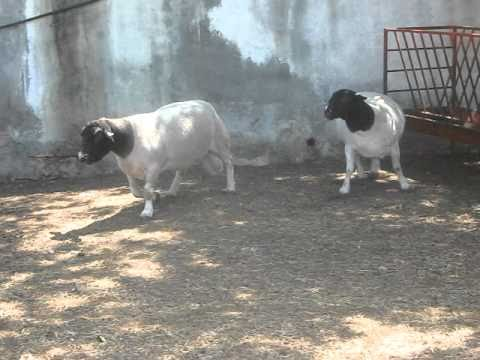 www.borregosdorper.mx Borregos Dorper Granja de Ovinos ...