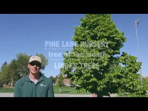 Tree Of The Month // June // Linden Trees