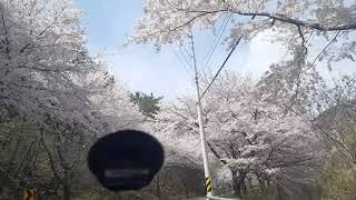 2019 거제도 벚꽃