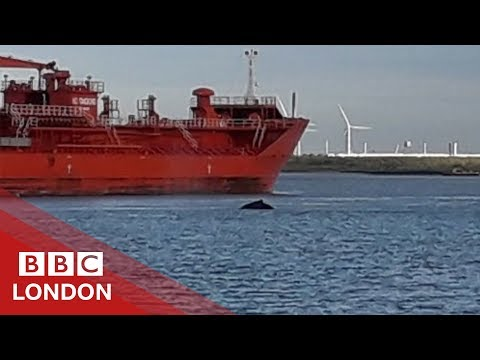 Humpback Whale spotted swimming in the Thames - BBC London