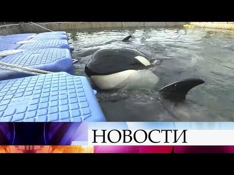 Судьба косаток и белух, содержащихся в «китовой тюрьме», решится сегодня.