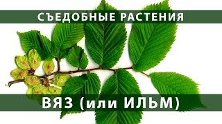 съедобные растения. Вяз