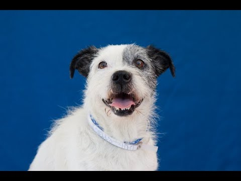A5112008 Raider | Jack Russell Terrier