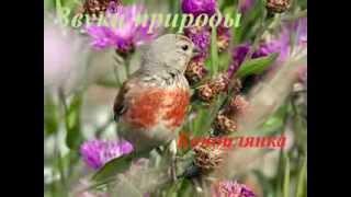 Звуки природы для детей ♪ Голоса птиц для детей ♪ Коноплянка