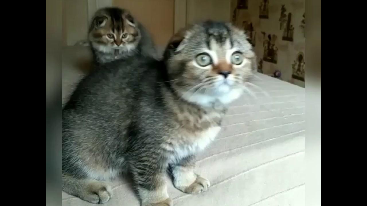 Британские котята - YouTube