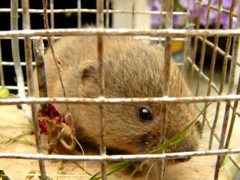 Le rat taupier ou campagnol terrestre youtube - Odeur que les rats detestent ...