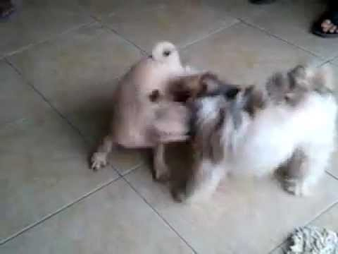Pug Playing With A Shih Tzu Youtube