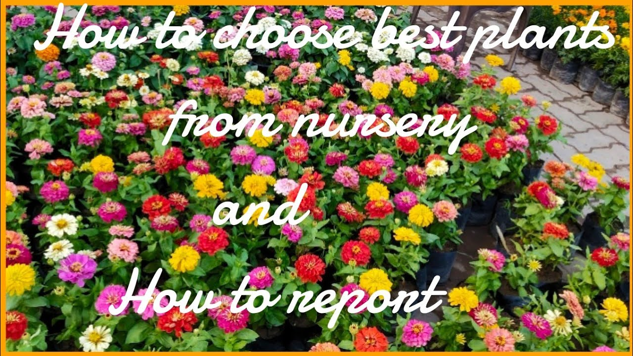 How to choose healthy plants from nursery and how to report in pot( plastic pot) #1